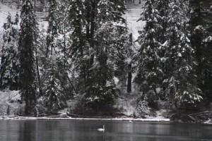 swan on snowy Horsefly Lake