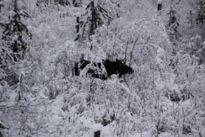 Spike Horn Bull Moose